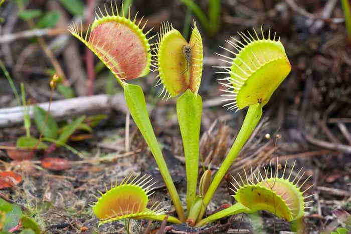 the venus fly trap The vast majority of e-mail queries i have are about venus flytraps why isn't my venus flytrap red like in the photos why isn't my venus flytrap growing well.